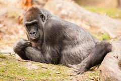 2015-04-09-15h31m15.272P7588 (A.J. Haverkamp) Tags: zoo gorilla thenetherlands apenheul apeldoorn dierentuin httpwwwapenheulnl pobinthewild mintha dob31121974 canonef500mmf4lisiiusmlens