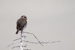 Northern Pygmy Owl / Glaucidium gnoma (peter.lindenburg) Tags: california usa bigsur juliapfeifferburnsstatepark northernpygmyowl glaucidiumgnoma
