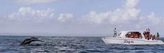 A la rencontre des baleines (ElleagMAP) Tags: whales samana rpubliquedominicaine baleines baleinesbosse