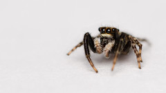Walking Jumping Spider (Fab Boone Photo) Tags: araignée close extension eyes macro salticidae spider tube jumping fabienboone fabboone