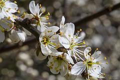 Blackthorn, Prunus spinosa (pallefrejvald) Tags: macro denmark pentax fullframe blackthorn prunus k1 spinosa slen