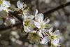 Blackthorn, Prunus spinosa (pallefrejvald) Tags: macro denmark pentax fullframe blackthorn prunus k1 spinosa slåen