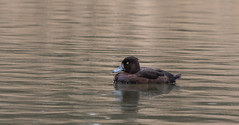 Tufted Ducks-2960 (WendyCoops224) Tags: canon eos ducks tufted forestofdean 70d 100400mml april2016 wendycooper