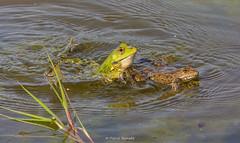 2016-05-06 - 16.09.39 - _L5B3374 - 2 (Rossell' Art) Tags: pad frog toad sapo rana frosch grenouille kikker rano bufo r krte crapaud  rospo doodebemde batracien