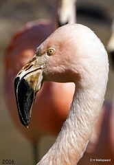 Chileense flamingo (ditmaliepaard) Tags: bird sony ngc npc vogel safaripark beeksebergen hilvarenbeek chileenseflamingo a6000