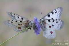 Parnassius apollo (Linnaeus, 1758) ( BlezSP) Tags: butterfly lepidoptera mariposa apolo insecta papilionidae papilionoidea parnassiusapollo parnassinae