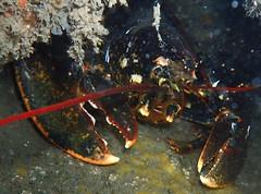 lobby (richie rocket) Tags: dorset glug tango underwater m2submarine wreck lobster homarusgammarus