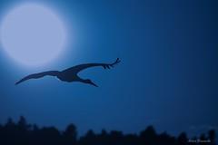 Sunset flight (acbrennecke) Tags: sunset sky sun silhouette nikon flight stork storch nikon5500 achimbrennecke