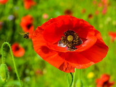 Busy at Work (The Vegan Taff Photography) Tags: flowers summer flower nature field outside bokeh depthoffield bee bumblebee poppy poppyfield