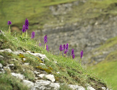 Orchids (l4ts) Tags: landscape orchids derbyshire peakdistrict limestone wildflowers grassland cressbrookdale whitepeak earlypurpleorchids derbyshiredalesnationalnaturereserve limestonevalley britnatparks cressbrookdalenationalnaturereserve