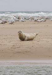What are you looking at? (blame_the_koala) Tags: beach scotland zoom wildlife sony seal 75300mm sandbank morayfirth sealpup laea4