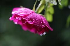 Rose with raindrops (JPShen) Tags: red rose purple bokeh raindrops ragusa