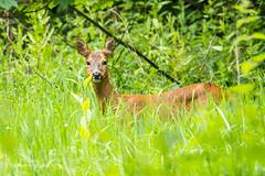 Roe Deer seen at Calcot Golf Club D50_0308.jpg (Mobile Lynn) Tags: wild england nature unitedkingdom deer gb roedeer calcot landmammals