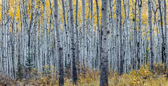 Forest of Aspen Trees in Autumn with Canon 5DSR (PIERRE LECLERC PHOTO) Tags: autumn trees white canada fall nature forest landscape outdoors woods natural bark alberta aspens wilderness jaspernationalpark pierreleclercphotography canon5dsr