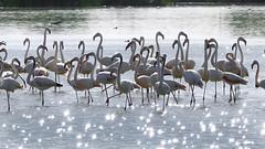 Flamencos en las Tablas de Daimiel ... (Vctor.M.Chacn) Tags: naturaleza agua aves flamencos fz1000 dmcfz1000 vctormchacn