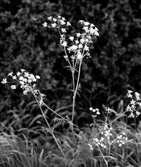 Hedgerow Flowers (Man with Red Eyes) Tags: flower monochrome analog zeiss blackwhite rangefinder lancashire hedgerow leicam2 adox silverhalide sunnysixteen td201 silvermax silvermaxadox a3minsb3mins continuousagitation distagont1435zm