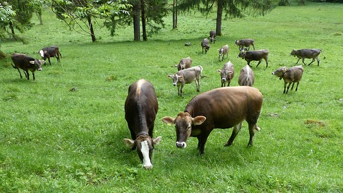Kühe im Faulenbachtal