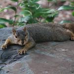 Squirrels in Ann Arbor at the University of Michigan (June 20, 2016) thumbnail