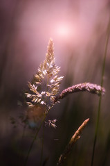"""Looking for the summer light..."" (Ilargia64) Tags: light summer macro nature warmcolors softcolors amayasanchez"