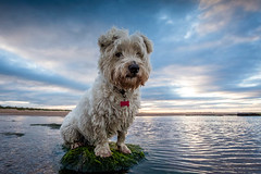 Marooned (f22 Digital Imaging) Tags: sunset beach westie northumberland westhighlandwhiteterrier baxter seatonsluice northeastengland