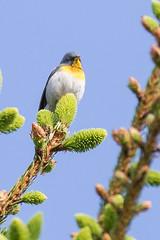 Northern Parula (J.B. Churchill) Tags: birds garrett maryland nopa newgermanysp northernparula places taxonomy warblers grantsville unitedstates us