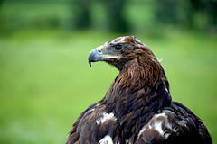 Golden eagle  (MelindaChan ^..^) Tags: china nature landscape golden eagle mel  melinda xingjiang  chanmelmel melindachan