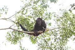Black Howler Monkey (Alouatta pigra) (Hickatee) Tags: forest rainforest belize wildlife culture toledo jungle puntagorda baboon hc howler howlermonkey blackhowlermonkey hickatee toledodistrict hickateecottages alouattapigra taxonomy:binomial=alouattapigra hickateebelize hickateepuntagorda