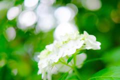 White hydrangea (sonica@2006) Tags: white green june japan way is fantastic very bokeh good some it fujifilm hydrangea feeling fujinon xm1 xf35mm