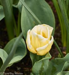 Tulp - Tulip - Tulipa (desire van meulder) Tags: flowers plants tulip planten bloemen tulipa tulp