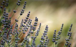 Lavender's blue..