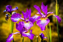"""Dressed in Purple""  Lovely Iris (Cathy Lorraine) Tags: purple iris thebutchartgardens touristattraction victoria vancouverisland britishcolumbia canada botanicalgardens flowers brentwoodbay nationalhistoricsite"