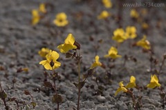 """Monkeyflower • <a style=""""font-size:0.8em;"""" href=""""http://www.flickr.com/photos/63501323@N07/28117770381/"""" target=""""_blank"""">View on Flickr</a>"""
