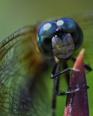 DragonFly_SAF9548 (sara97) Tags: copyright2016saraannefinke dragonfly flyinginsect insect missouri mosquitohawk nature odonata outdoors photobysaraannefinke predator saintlouis towergrovepark urbanpark