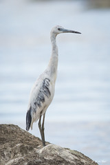 DSC_3138 (P2 New) Tags: 2016 aigrettebleue animaux ardids avril cayenne ciconiiformes date guyane oiseaux pays guyanefranaise