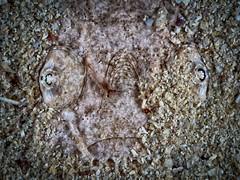 P7281073 (Jeannot Kuenzel) Tags: jeannotkuenzel jeannot kuenzel wwwjk4unet jk4u malta scuba under water underwater diving photography macro supermacro olympus epl5 zen port leica dg macroelmarit 45mm f28 asph ois inon z240 240z ucl165 s2000 moods aliensofthesea aliensofthedeepblue alien deep blue mediterranean sea maltaunderwater maltaunderwatermacro maltaunderwaterphotography bestmaltaunderwaterpictures maltamacro underwaterphotography maltascubadiving supermacrophotography underwatersupermacro underwateralien underwaterworld underwatercreature underwatermacro extrememacro superextrememacro