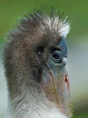 "2016-08-22 P8930501  ""Contact"" (Tara Tanaka Digiscoped Photography) Tags: wood stork fledgling bird young peachfuzz swamp gh4 nikon300mmf28 manualfocus dof bokeh eyecontact connection"