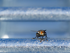 Fly without Macro (guido.elting) Tags: fly fliege zoom stahl grau zink