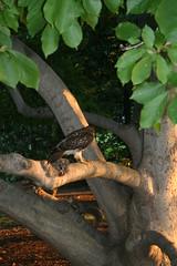 IMG_1024 (reaact) Tags: bird squirrel attack prey