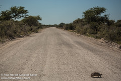 Tortoise Crossing The Road In Etosha National Park, Namibia
