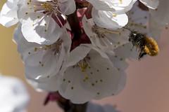 Osmia cornuta (antoniobaz) Tags: flower flying spring sony bee honey 400 gii iif a77m2