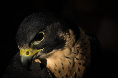 Peale's (Jon David Nelson) Tags: portrait eyes education hunting feathers raptor falcons raptors birdsofprey falconry peregrine peregrinus falcoperegrinuspealei