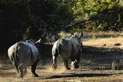 rhinoceros (Carsume) Tags: two rhino runningaway
