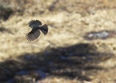 "Titmouse in flight 3 • <a style=""font-size:0.8em;"" href=""http://www.flickr.com/photos/30765416@N06/16722081289/"" target=""_blank"">View on Flickr</a>"