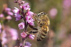Honey Bee and Heather (dave.pix2013) Tags: heather honeybee raynoxdcr250 estonhills