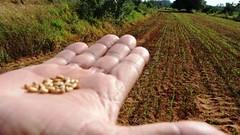 Trigo en Paraguay01