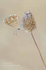 Mariposa (Xavier Mas Ferr) Tags: de es mariposa niu dguila