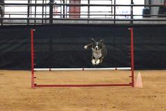 agility256 (jaimekay16) Tags: dog training austin agility k9 xpress nadac k9x