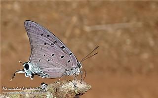 Borboleta - Pseudolycaena marsyas marsyas (Lycaenidae: Theclinae: Eumaeini)