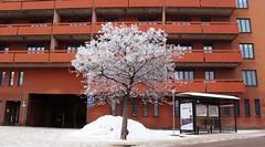 snowtree (Sandra Lv) Tags: winter red snow tree stockholm sdermalm 169 skanstull