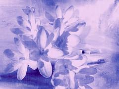 Delicate (Elisafox22) Tags: photomanipulation photoshop purple challenge photomanipulated crocuses postprocessing ipad pixlr imageblender kreativepeople elisafox22 elisaliddell©2015 treatthis72